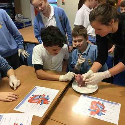 Heart dissection – Y6